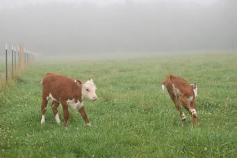 calves playing