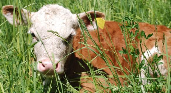 cropped-calf-in-grass.jpg